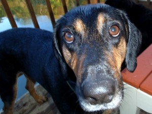 Missing hound dog on the lam ...