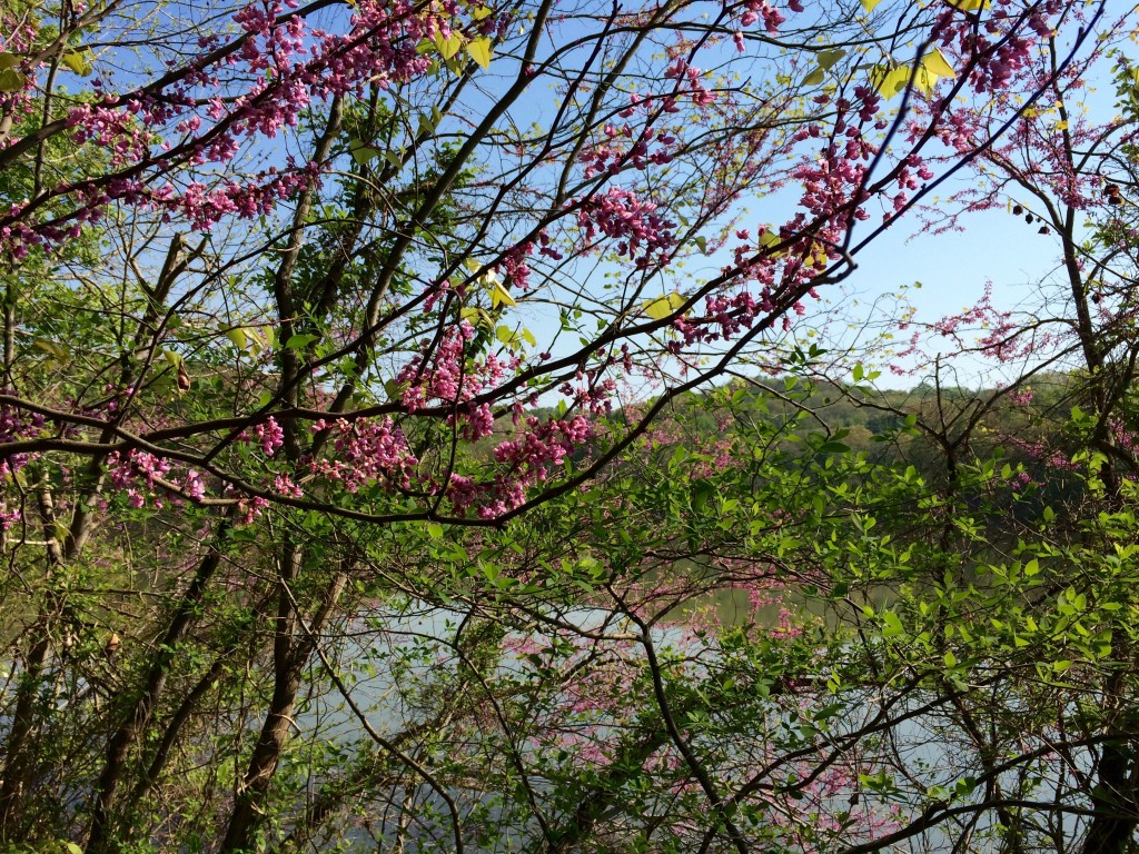 Redbuds bloom with the lake in the background.