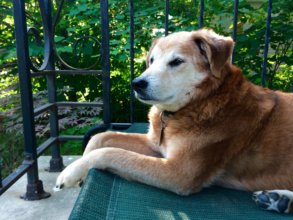 Ozzy hanging out on the front porch, ever vigilant for squirrels, postal carriers and passing dogs.