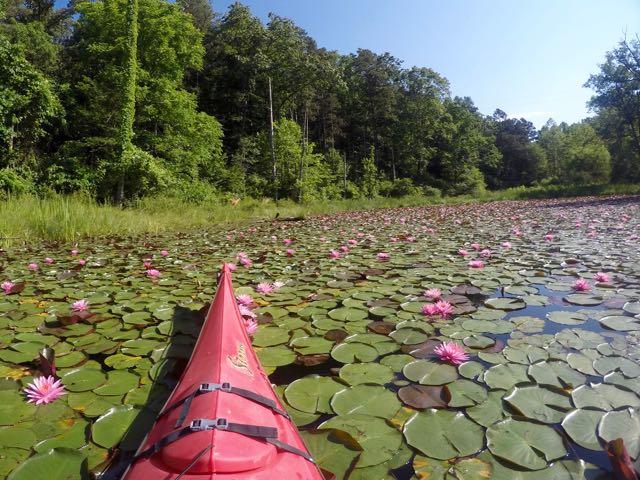 Lake Hope water lilies