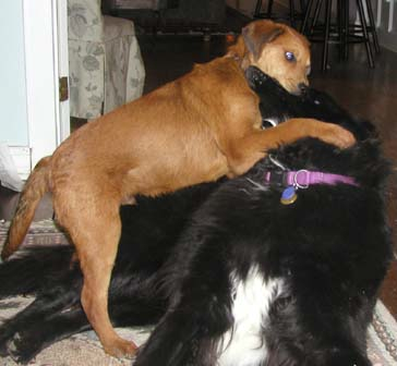 Ozzy and Xena wrestle at our Hardin Valley House on the night that I found him at Melton Hill Park in Knoxville.