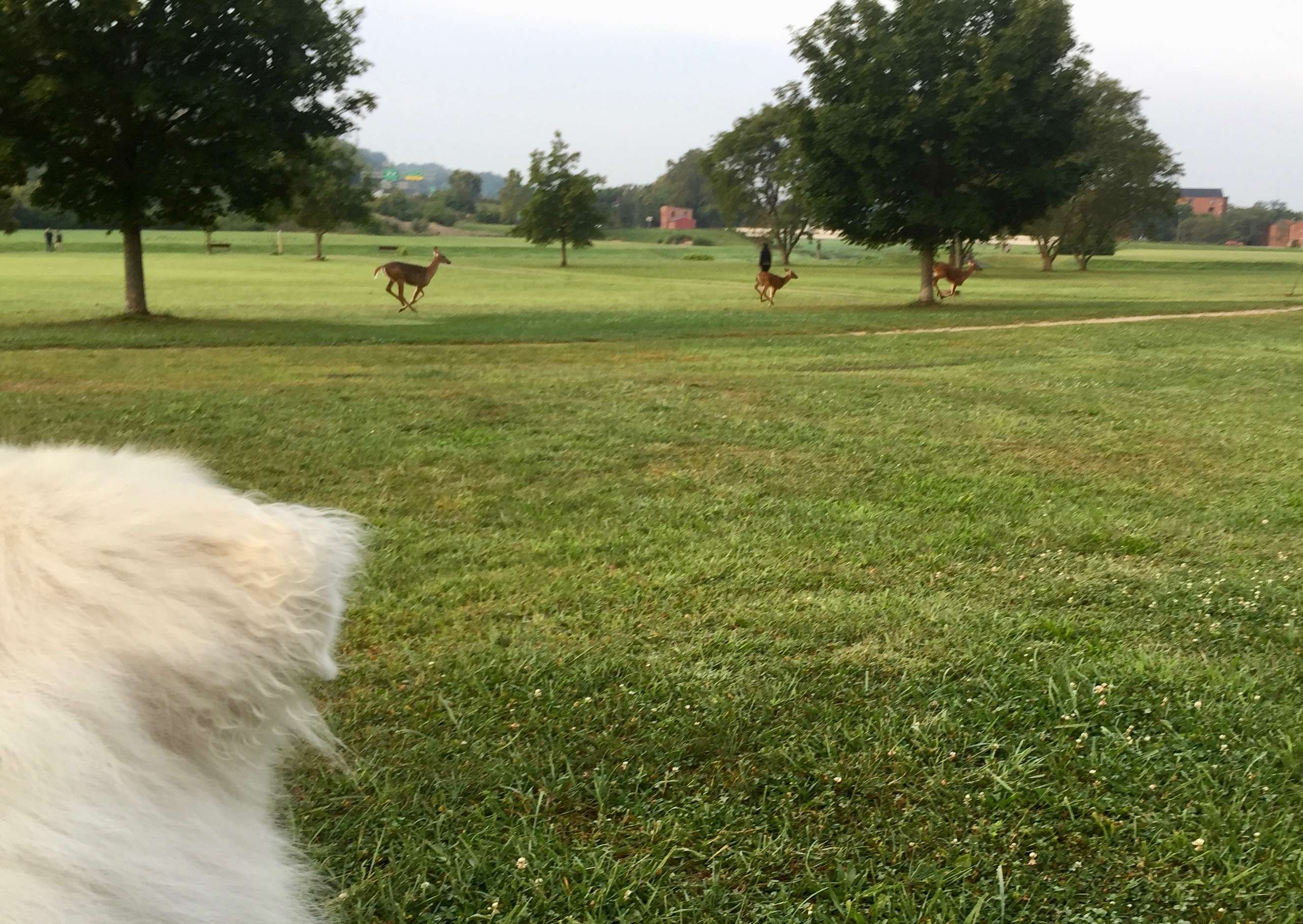 Sunny watches deer dash across the field behind the Athens Library.