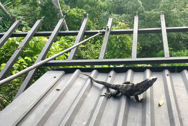 The iguana panhandler
