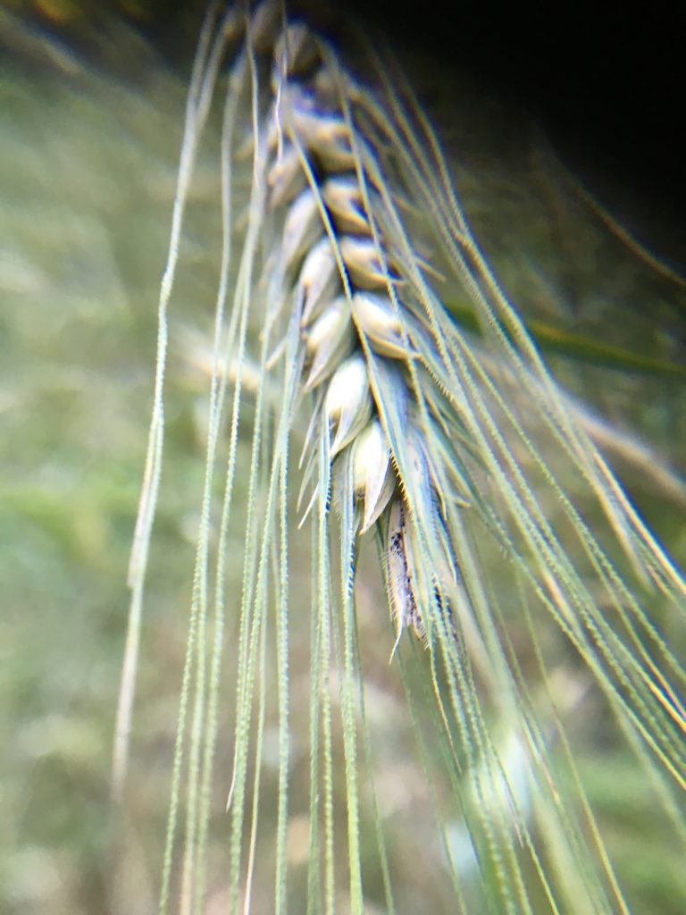 Closeup of rye in garden.