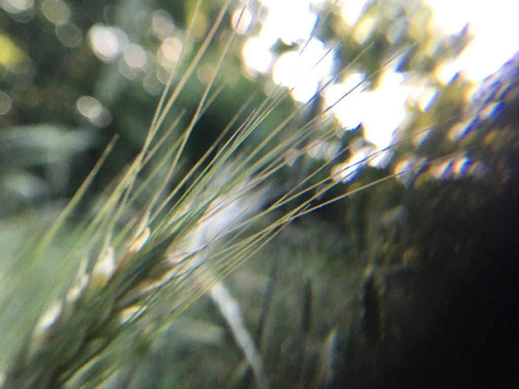 Another closeup of the rye.