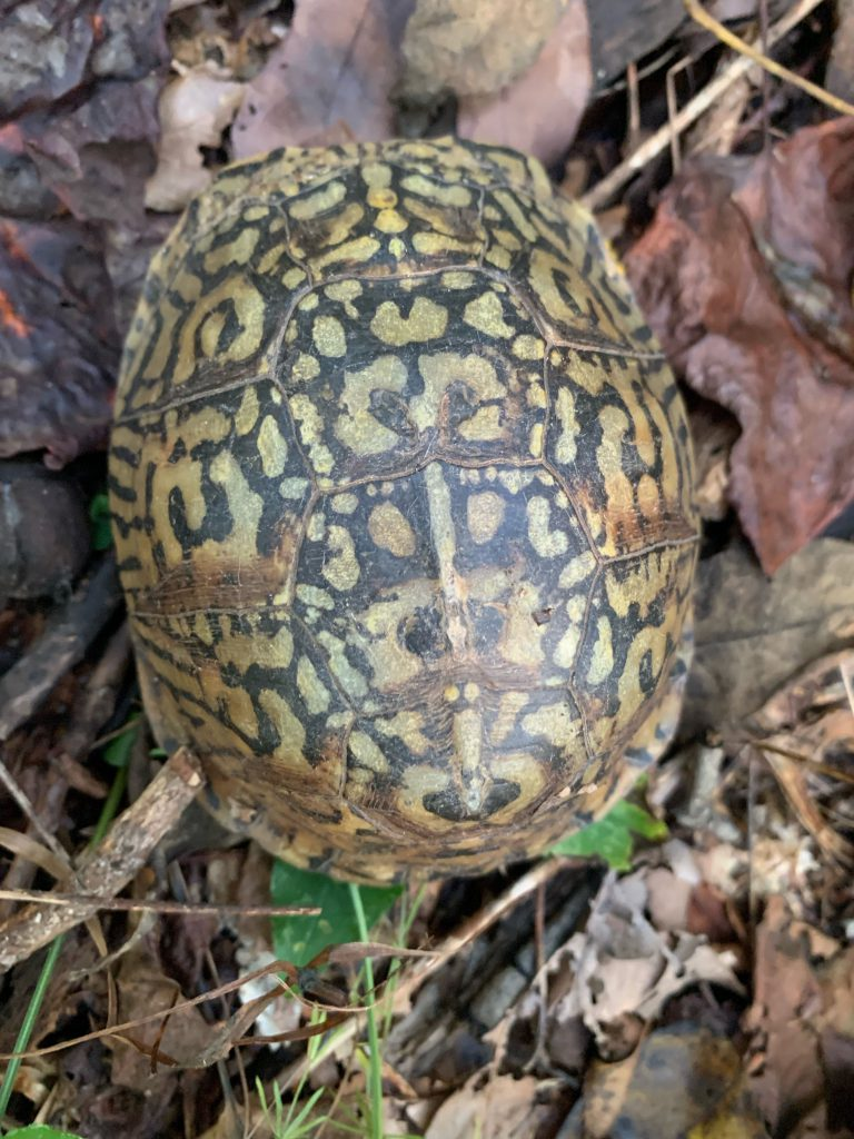 Oct. 5 Box Turtle, as discovered by a world class Turtle Dog.