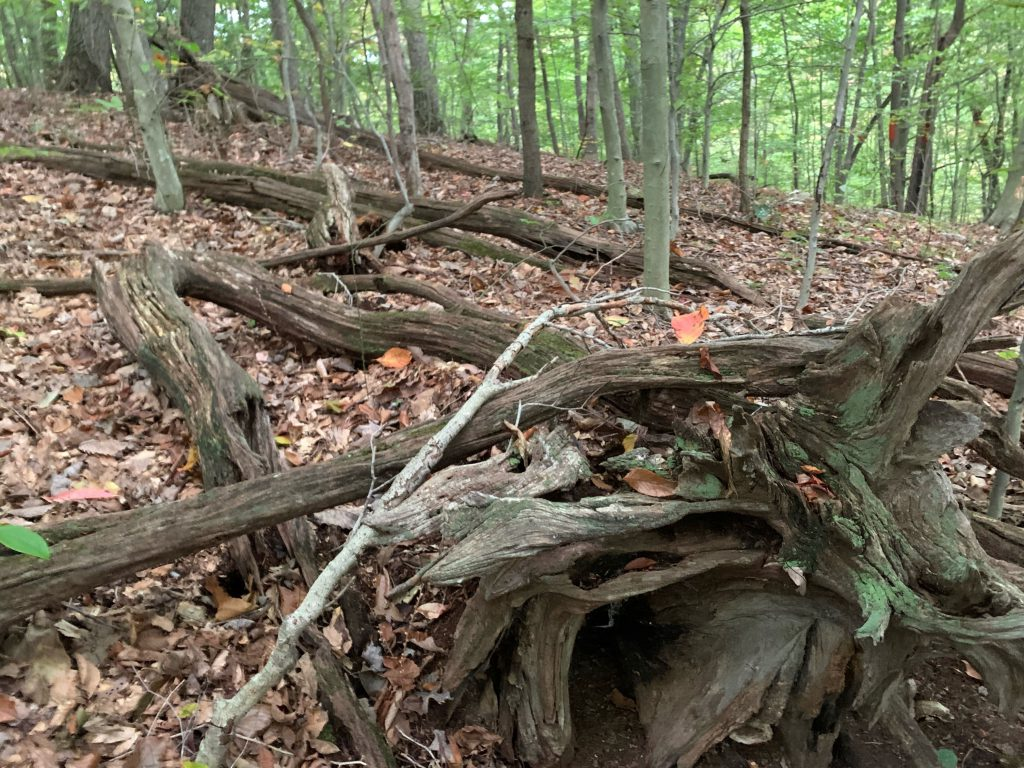 """The """"driftwood,"""" strewn on the south slope of ridge ...."""