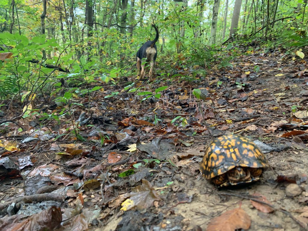 The turtle is still withdrawing into its shell in the foreground as Althea trots toward wherever her nose was leading her ...